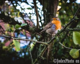 Robin Redbreast Traditional Christmas Card 'Robin' British Bird Bird Nature Winter Greetings Card
