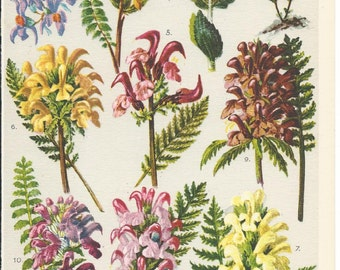 Vintage German Botanical Coloured Book Plate - Scrofulariaceae- Figworts - Ideal For Framing # 10