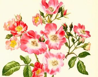 1950 Rose American Pillar, Vintage Botanical print of flowers, ornemental plant, framing wall art, home decor