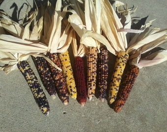 """Indian Corn  24 count  5"""" to 6"""" long"""