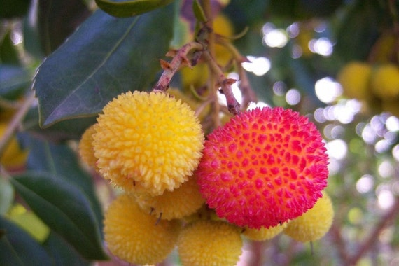 Arbutus Unedo - Strawberry Tree, hardy, edible fruits, 10 ...  Strawberry