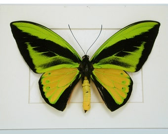 Glowing Ornithoptera Goliath - Large, Real and Bright Framed Butterfly