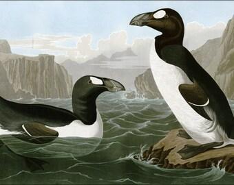 24x36 Poster . Great Auk, Penguin By John James Audubon