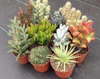 Succulent Collection - 10 plants