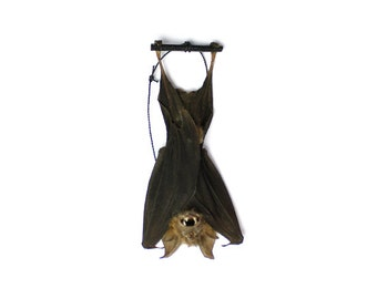 Real Taxidermy Bat | Hanging Intermediate Roundleaf Bat 3""