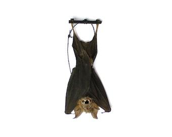 """Real Taxidermy Bat   Hanging Intermediate Roundleaf Bat 3"""""""