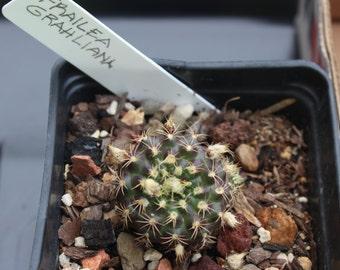 10 Frailea grahliana cactus seeds