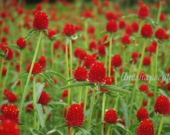 Red flower bed - Nature photography print
