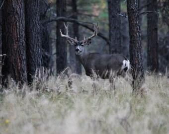 Mule deer in velvet