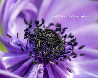 Purple Poppy Flower Floral Fine Art Nature Macro Photography Digital Instant Download Home Bed Room Nursery Decor Print Canvas