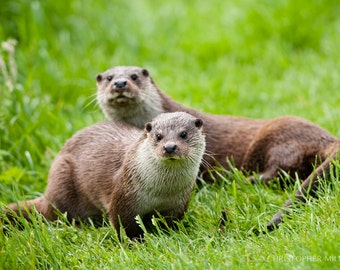 Otters by Christopher Mills - A1 or A2 Fine Art Giclee Mounted Prints | Nature Photography - Wildlife/Otters/Animals