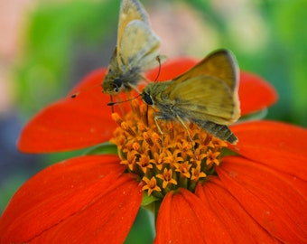Butterflies on a Flower Photo Print