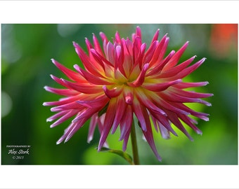 Explosive Dragonberry Dahlia, Bright, Colorful, Wall Art