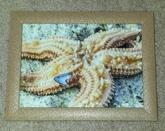 Cape Cod starfish