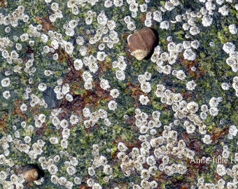"Fine Art Photography, Landscape,Nature,8X12"" or 16x24"", Shell Macro II"