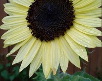 Sunflower Seed -Valentine- Organically grown