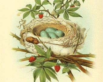 Catbird - nest and eggs - reproduction of an old zoological illustration