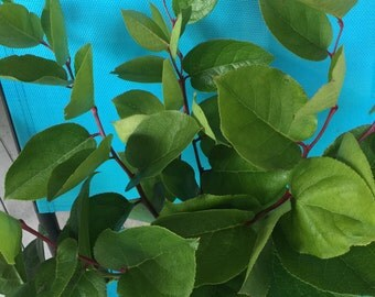 Fresh Salal Branches - Roses, Floral Arrangements, Natural, Leaf, Greens, Florist, Cut to order, Bouquet, Summer, Winter, Fall, Spring