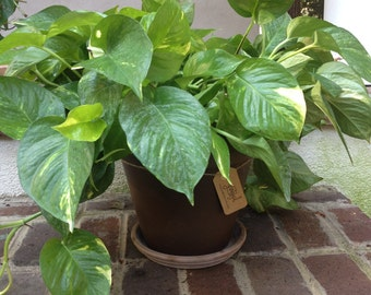 Beautiful Potted Pothos