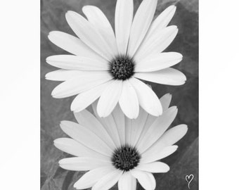 Black and White Print, Daisy Flower Fine Art Print, Wall Art - Reaching Daisies