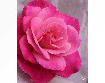 Pink Photograph, Pink Keepsake Rose, Rose Picture, Rose Photograph, Pink Keepsake Rose