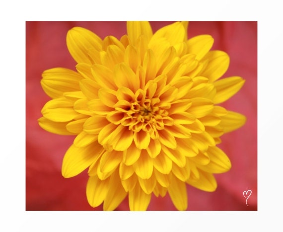 "Wall Art Print of a Yellow Dahlia, Home Decor, Flower Wall Art, Yellow Wall Decor ""Sunburst Dahlia"""
