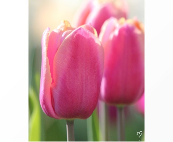"""Flower Photography, Pink Wall Art, Flowers, Fine Art Photograph """"Pink Tulips at Sunrise"""""""