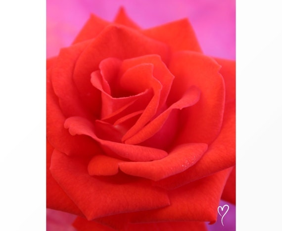"""Modern Art Red Rose Photograph of a Beautiful Red Rose, Flower Photograph, Flower Prints, Botanical Print, """"Lady of the Manor"""" Gift for Her"""