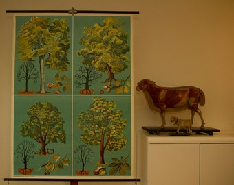 Vintage  Pull Down Chart Deciduous trees include Beech Chestnut Oak Linde  School Chart