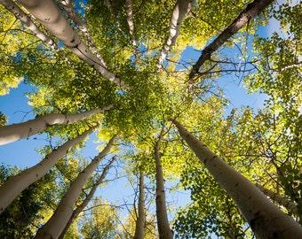 Boreal forest silver birch, Kananaskis, Alberta, Canada. Nature art photo print.