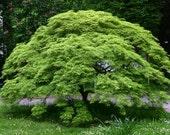 Acer Palmatum, Japanese Maple x 2 - Autumn colour Specimen plant Woodland / semi-shade small tree shrub