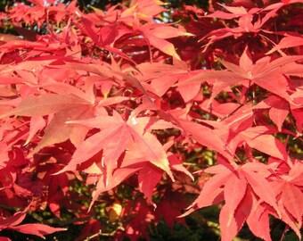 Acer Palmatum Osakazuki x 2, Japanese Maple  - Autumn colour Specimen plant Woodland / semi-shade small tree shrub