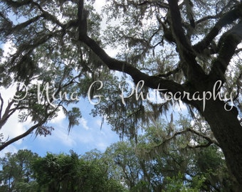 Nature Photo Treetop Spanish Moss Ancient Crooked Branches Summer Sky Photograph Beautiful Contrast