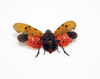 Penthicodes atomaria Taxidermy Lantern Fly Insect A1 Indonesian Collector