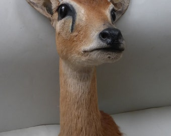 Taxidermy - African Oribi Head Mount - Excellent condition