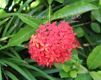 Botanical Photography: Ixora- nature photography, floral, flower, garden, tropical
