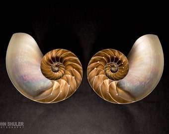 Nautilus Shells: Still life art photography prints for  home or office wall decor.