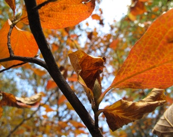 Nature Photography, Leaves, Fall, Autumn, Trees, Ready to Hang Art, Macro, Flora, Wall Art