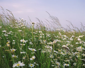Wild Flower photo, daisy's, flower field, UK field, UK, landscape photography, nature, travel, holidays, summer, wall art, fine art photo
