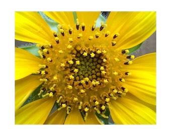 Sunflower No. 2; Sun Rays - Macro Botanical Flower Print - FREE SHIPPING