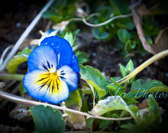 Blue and Yellow Pansy Print
