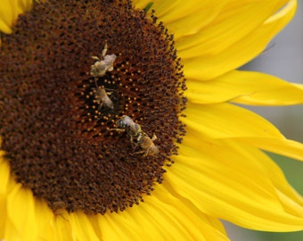 Honeybees on Sunflowers