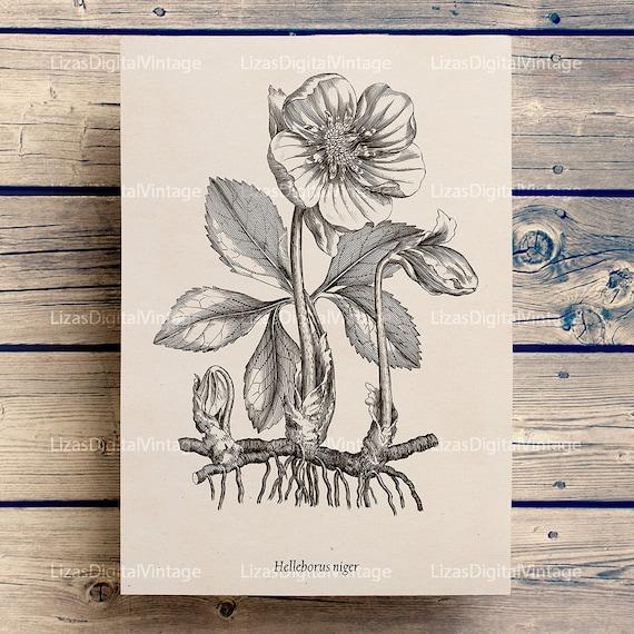 Digital Printable Christmas Rose Image, Floral print, Vintage Botanical Illustration, Flower print, Flower clip art, Graphics, Print JPG PNG