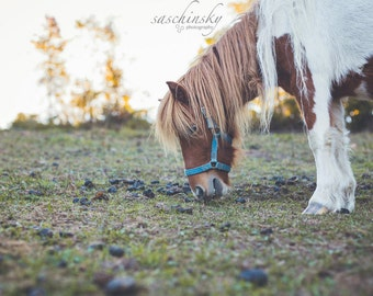 Grazing Pony Photo Print - Color Picture - Horse Photography - Pennsylvania - Customizable: Print, Canvas, Metal, Framed options 5x7, 8x10