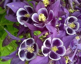 Purple Columbine Seeds
