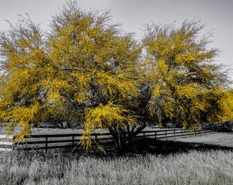 Yellow tree Texas