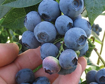 Blue Ray - Blueberry Plant - Organic
