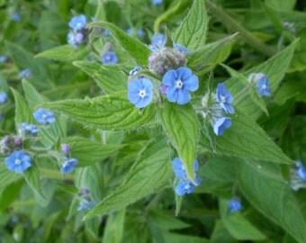 2 Organic Norfolk Alkanet,pentaglottis semperviren,Cottage Garden Flower,Herb.
