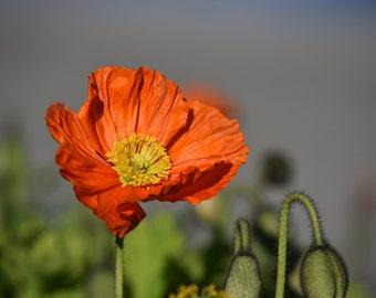 Poppy Digital Photo - Poppy Photo Print - Poppy Photo - Red Poppy Photo - Red Flowers - Digital Photo - Instant Download - Living Room Decor