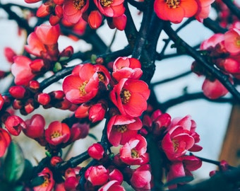 Red Cherry Blossom - Cherry Blossom Photo - Cherry Blossom - Flowers Digital Photo - Red - Digital Photo - Instant Download - Spring Decor